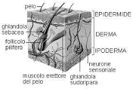 composizione della pelle