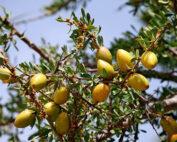 Argania per olio di argan in cosmesi